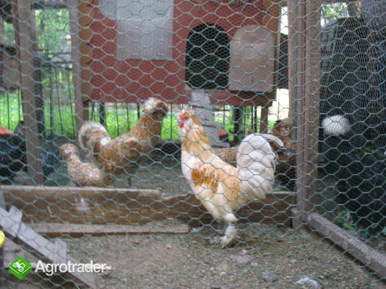 Jaja lęgowe, koguty, kury, chabo, silki, pawłowskie, czubatki, seramy - zdjęcie 4
