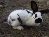 króliki kalifornijskie i krzyżówki
