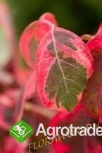 Kolorowy, kwitnący żywopłot - inny niż wszystkie - zdjęcie 1