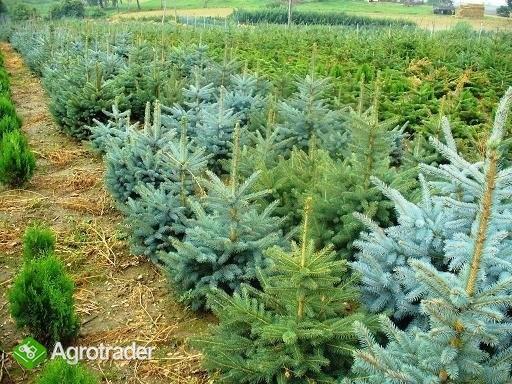 Iglaki i inne krzewy ozdobne-ponad 280 odmian ! - zdjęcie 5