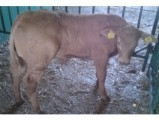 Kupię byczki mięsne kilkudniowe podlaskie,warm-maz