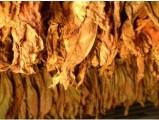 liście tytoniu 663-535-221,100 % zadowolenia