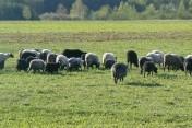 Owce wrzosówki z gospodarstwa ekologicznego