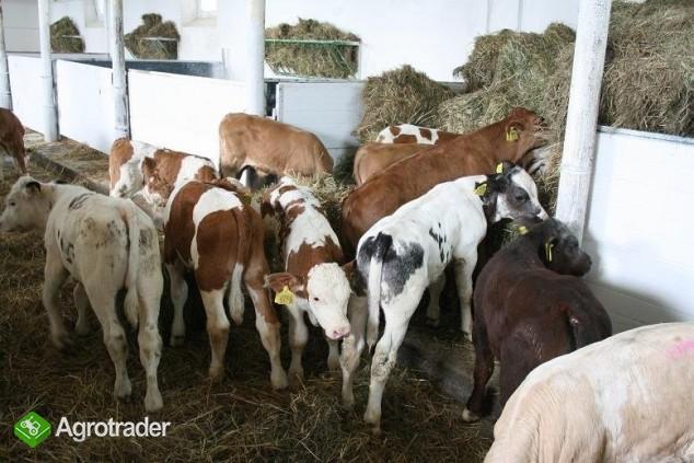 Sprzedaż Cieląt Ras Mięsnych- ZM BM Kobylin - zdjęcie 1