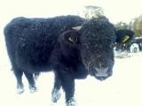 Byk Byczek roczny Welsh Black gotowy do krycia