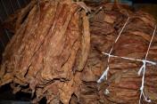 liście tytoniu BURLEY, VIRGINIA! Kuj- Pomorskie