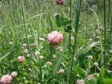 mieszanka  traw z koniczyną