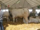 kupie byczki około 300 kg