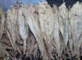 Liście tytoniu BURLEY! Kujawsko- pomorskie