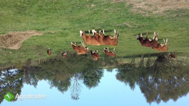 Krowy Simental w Bieszczadach