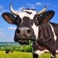 Jałówki cielne, krowy mleczne HF- Dania, Niemcy!
