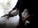Sprzedam Piękne Gołębie Ozdobne TANIO