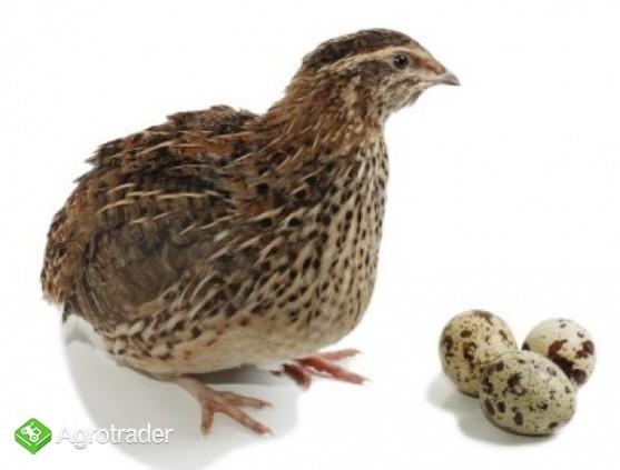 Przepiórki młode, jaja przepiórcze