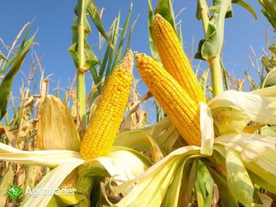 kupię kukurydzę suchą