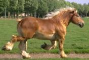 Ukraina.Ciezkie konie wlodzimierskie o duzej masie ciala w cenie zywca