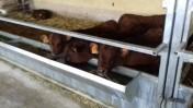 sprzedam cielęta oraz byczki mięsne Transport Gratis Na terenie Kraju