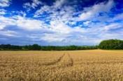 Skup zbóż. płatne przy załadunku