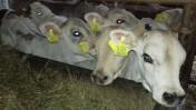 sprzedam cielęta byczki mięsne transport gratis