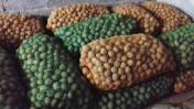 Ziemniaki sadzeniaki VINETA (wineta) i TAJFUN