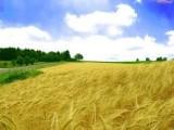 Kupię pszenicę, żyto i inne zboża
