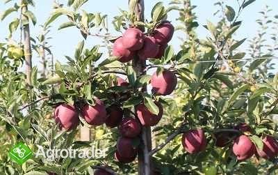 Szkółka Drzew Owocowych - zdjęcie 3