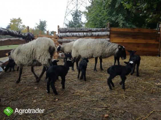 owca romanowska - jarki 2017 - zdjęcie 6