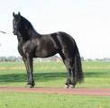 Dostępny jest piękny koń żeński z fryzjera