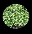 nasiona sadzonki ślazowca energetycznego