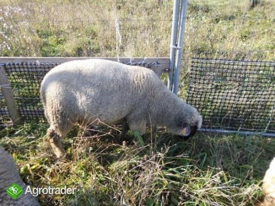 Barany i owca czarnogłówki na sprzedaż - zdjęcie 5