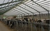 Krowy pierwiastki i jałówki cielne HF czeskie