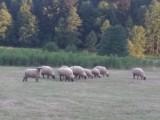 Czarnogłówki owce, tryki