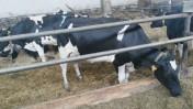 Krowy i Jałówki w Atrakcyjnym Kredycie