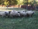Jagnięta, owce, urodzone w styczniu i lutym.