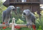 Afrykańskie papugi Ptaki papug Są one dostępne do adopcji,