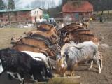 Kozły Alpejskie