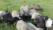 Owce wrzosówki