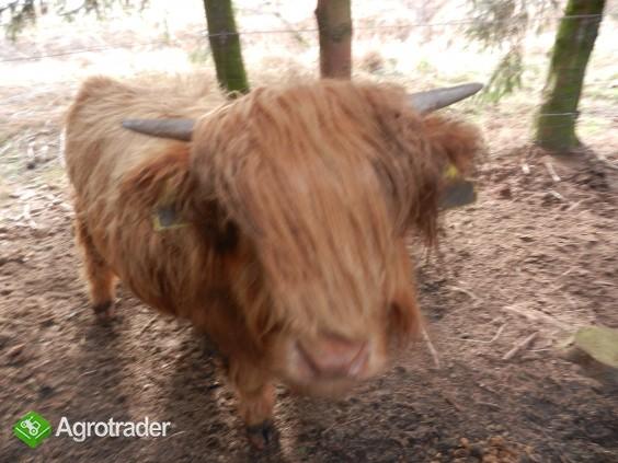 Bydło szkockie - Highland