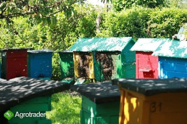 Sprzedam pszczoły w ulu warszawskim  - zdjęcie 2