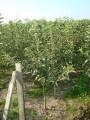 Sprzedam drzewka owocowe - sadzonki jabłonii