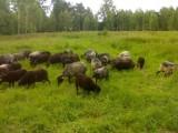 Owce wrzosówka pl jagnięta