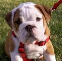 piękny bulldog szczenięta do przyjęcia