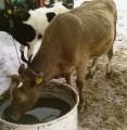 Sprzedam Młodą Krowę.