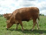 SPRZEDAM Jałówkę rasa Limousin 100%
