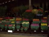 cebulki tulipana sprzedam prosto z holandii