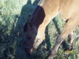 Sprzedam konia kuca 145!!!!!